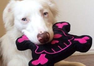 Dog Squeaky Toy: Skull & Crossbones PrideBites dog toy. (Toy and dog)